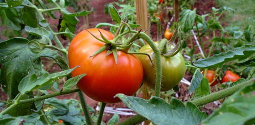 Talking Tomatoes - Marin Master Gardeners @ Library Meeting Room | San Rafael | California | United States